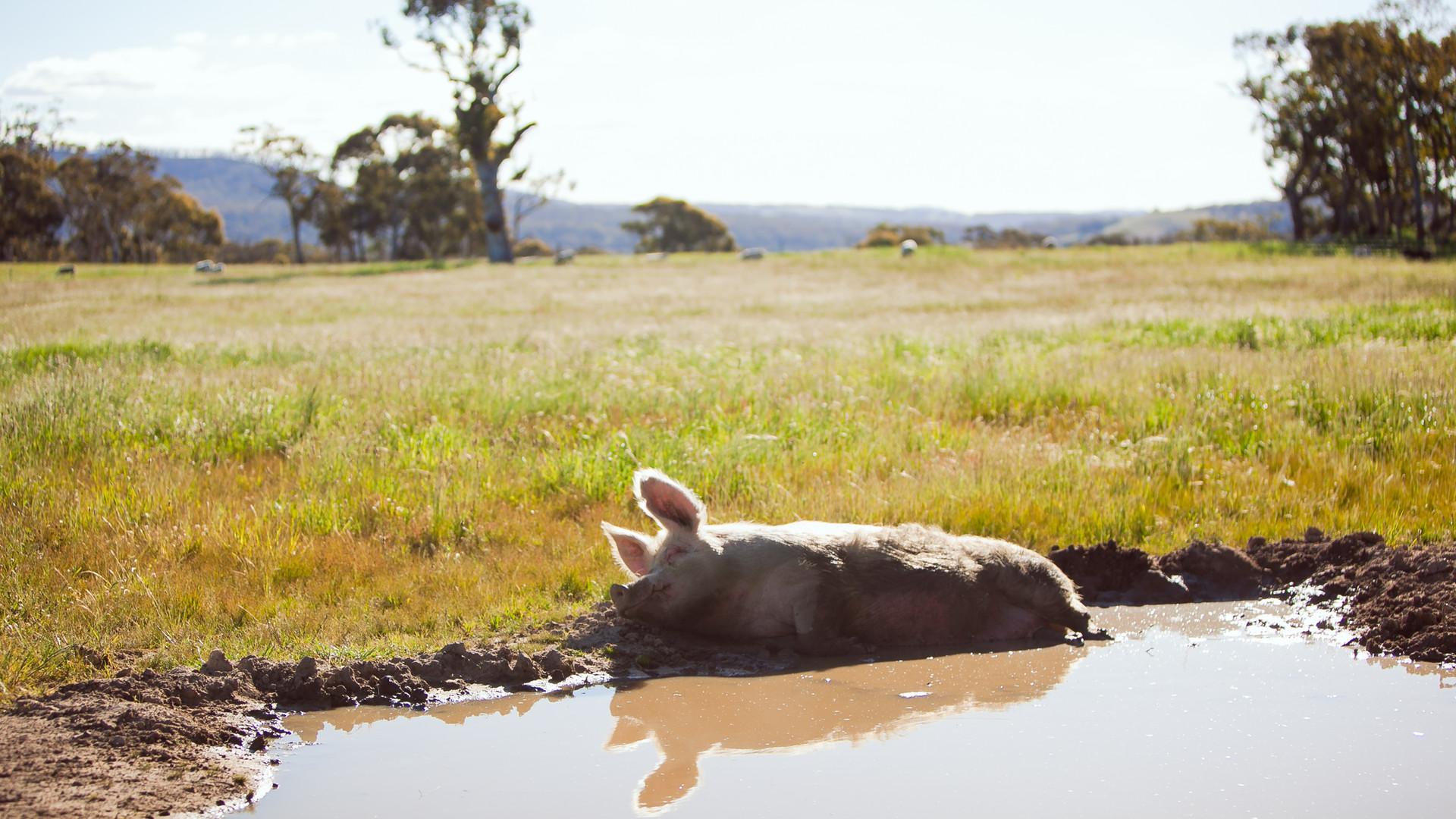 Farm Animal Sanctuary Sydney