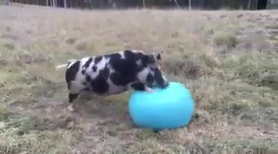 Lucy Pig Plays Ball.mp4