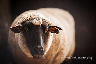 Chicks and Sheep-35b.jpg