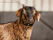 GoatLamb-20b.jpg