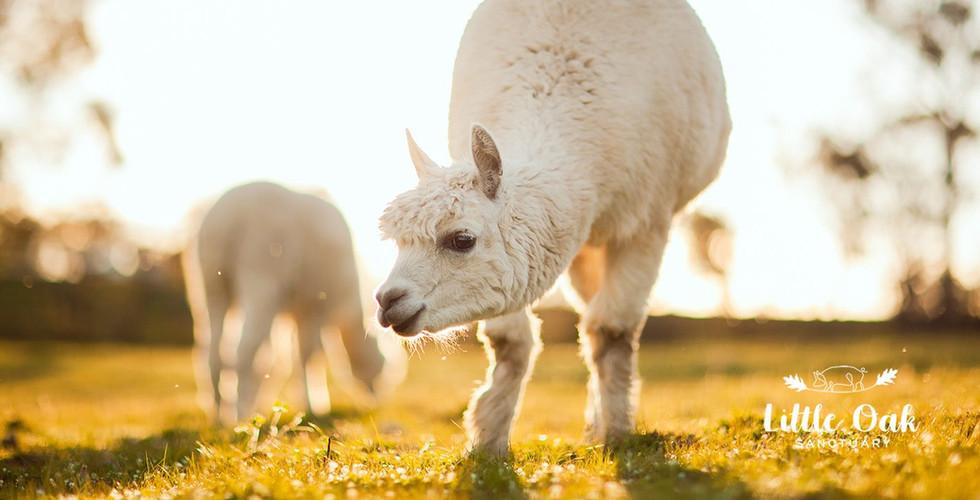 Alonzo the Alpaca