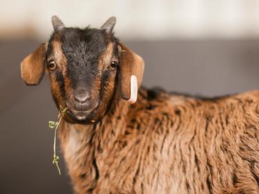 GoatLamb-33.jpg