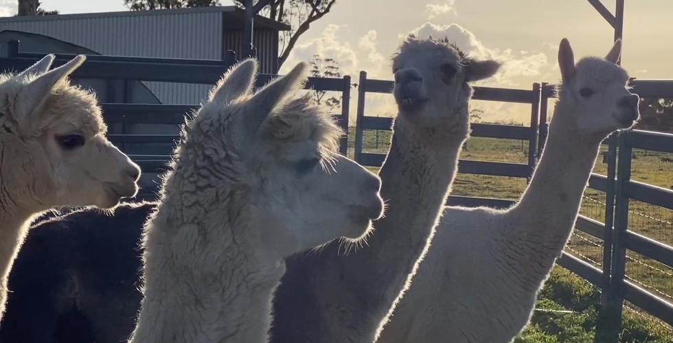 alpacas 2020