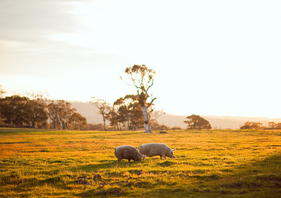 Pigs at Little Oak