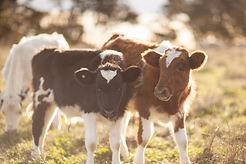 Calves-36.jpg