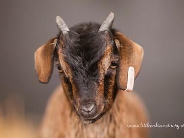 GoatLamb-7b.jpg
