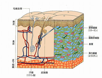 p-肌断面図1.jpg