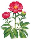 shakuyaku.png