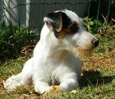 filhote de jack russell