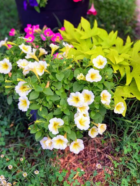 petunias from my yard