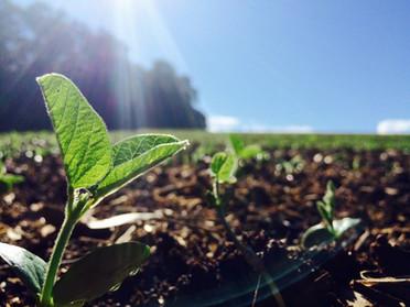 Vigor das sementes x potencial fisiológico!