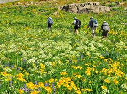 Teton Crest wildflowers