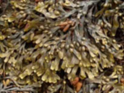 Rétha Océanic Gin algue Fucus