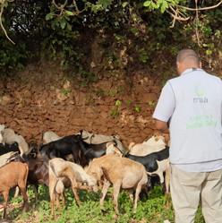 Selection Goats - Kenya Qurbani 2020 MAA