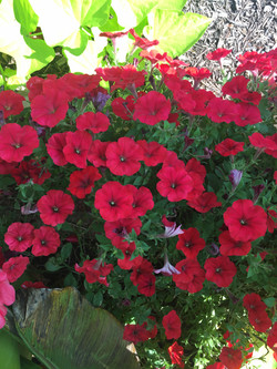DEEP PINK PETUNIAS -JOURNEY FOR A C