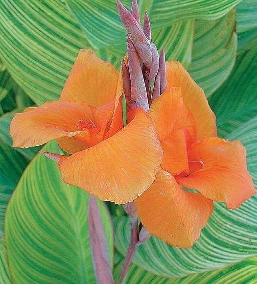 BENGAL TIGER CANNA LILY