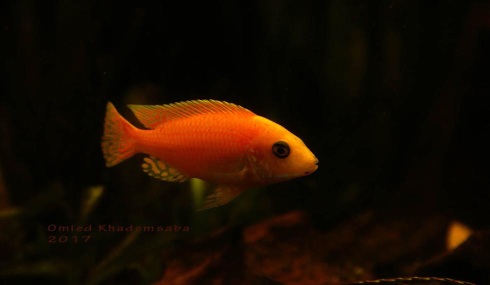 Der Goldfisch