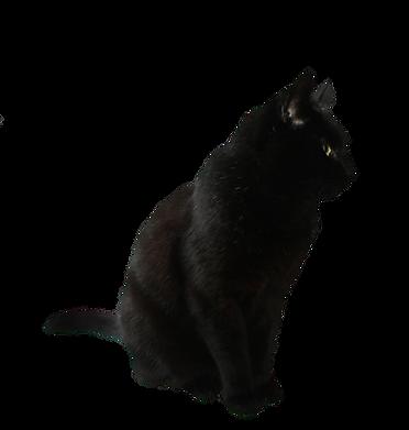 kisspng-havana-brown-kitten-black-cat-cl