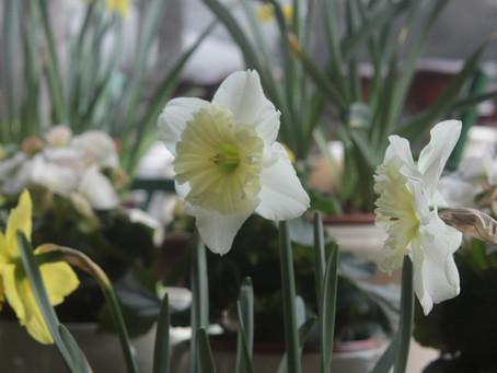 Daffodils Rein Supreme Where the Deer Roam