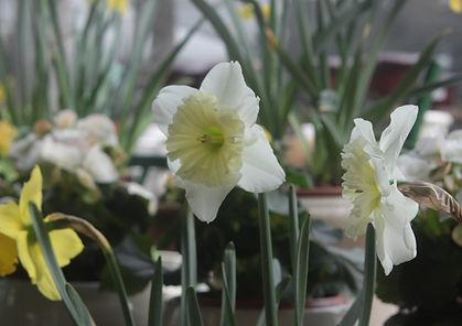 Jonquilles jaune et blanc