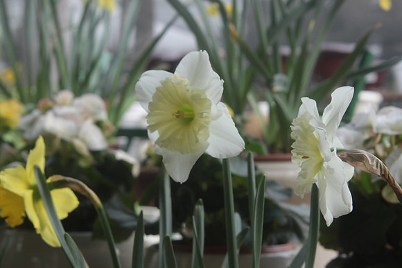 Daffodil/Nargis Or Narcissus Poeticus Flower Bulbs (Pack of 5)