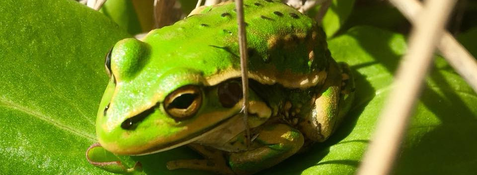 green and gold bell frog