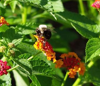 MSLO flowers bee.jpg