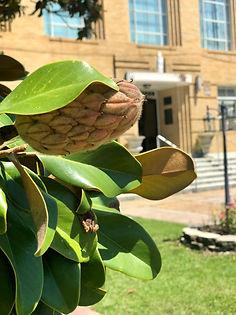 MSLO couthouse magnolia.jpeg