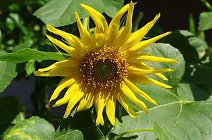 MSLO sunflower.jpg
