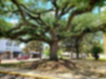 MSLO tree.jpg