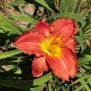 Mr. Bill Brooks lillies