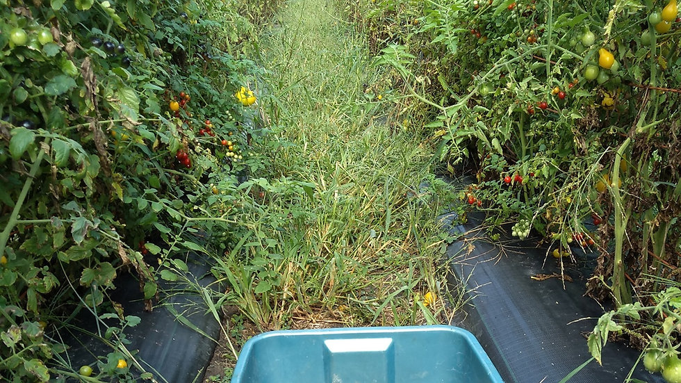 Tomates Cerises Ancestrales