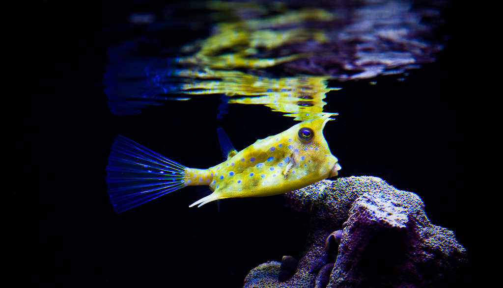 Saltwater Cowfish