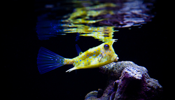 Saltwater Cowfish