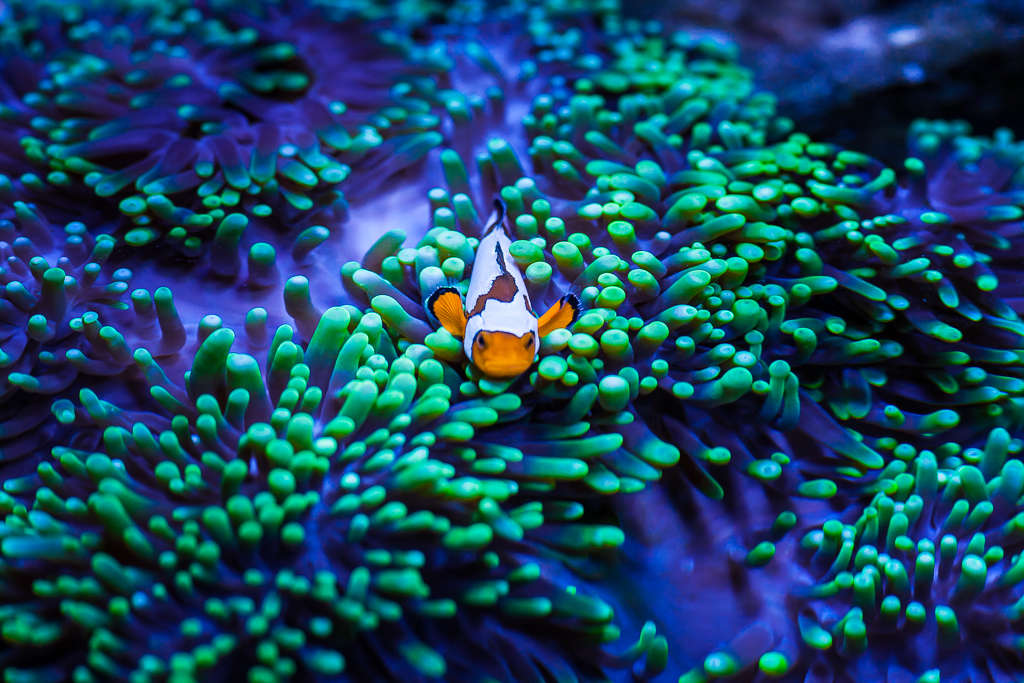 Clownfish and Anenome