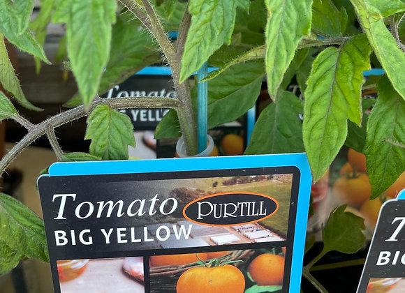 Tomato - Big Yellow ADVANCED