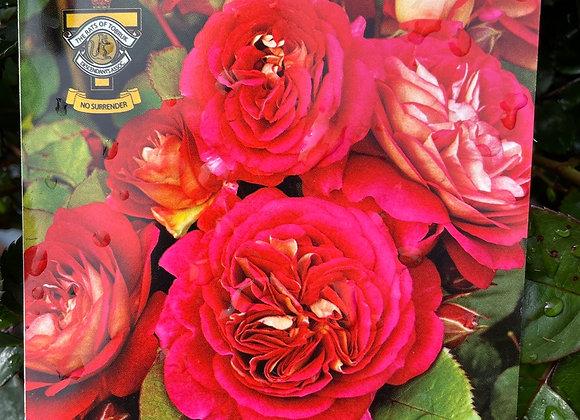 Bush Rose  - No Surrender 20cm pot