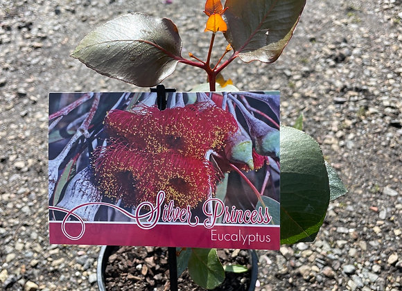 Eucalyptus Caesia - Silver Prjncess 14cm pot