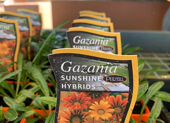 Gazania - Sunshine Hybrids punnet