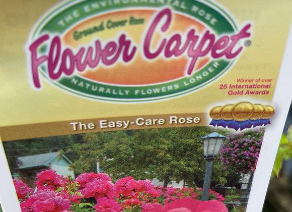 Flower Carpet Rose -  Pink 14cm pot