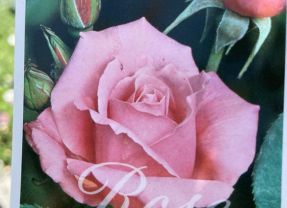Standard Rose Tall approx 80cm- Duet 25cm pot