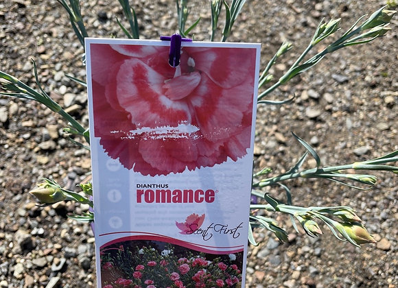 Dianthus - Romance 14cm pot PGA