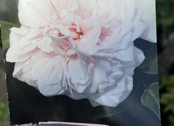 Climbing Rose -   Souvenir de la Malmaison 20cm pot