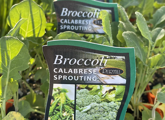 Broccoli-Calabrese Sprouting punnet