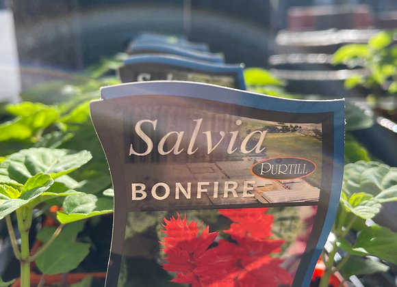 Salvia - Bonfire punnet
