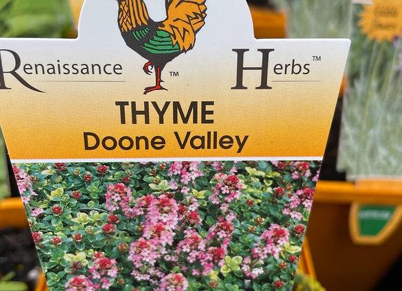 Thyme - Doone Valley SEMI ADVANCED 100mm pot