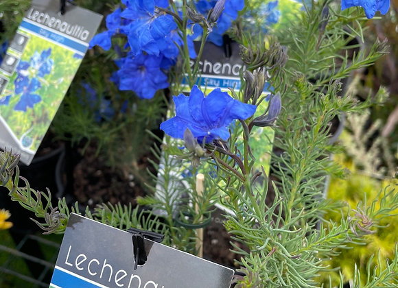 Lechenaultia - Sky High 14cm pot