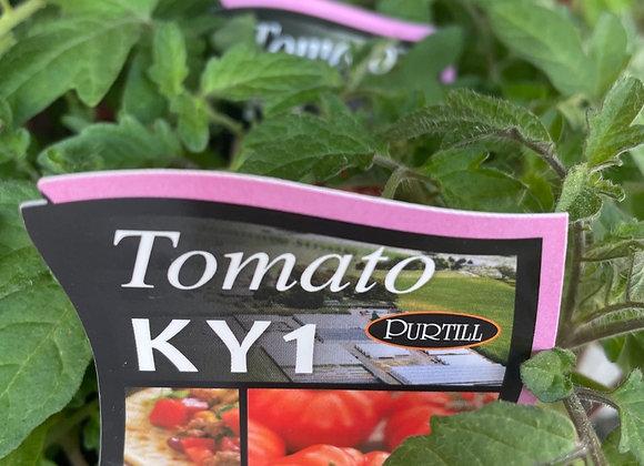 Tomato - KY1