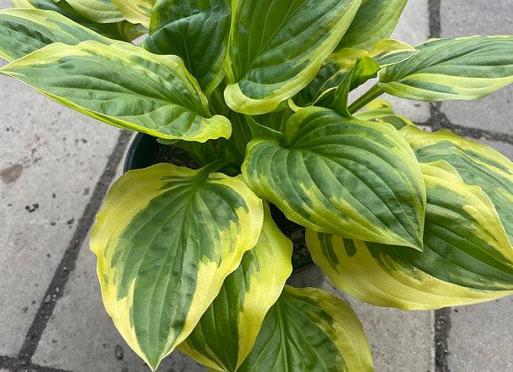 Hosta - So Sweet fresh new leaf growth 20cm pot