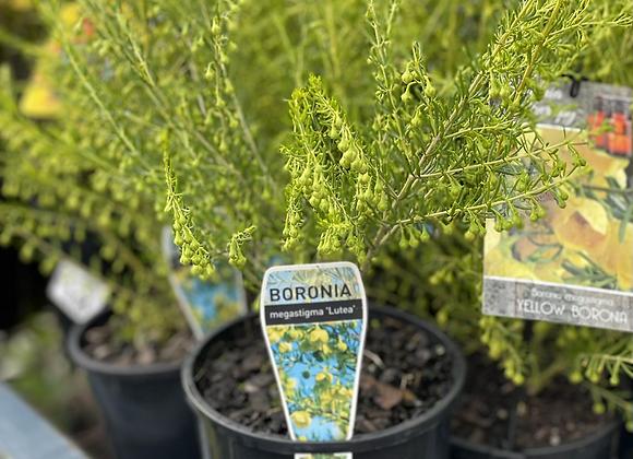 Boronia-Yellow no flower